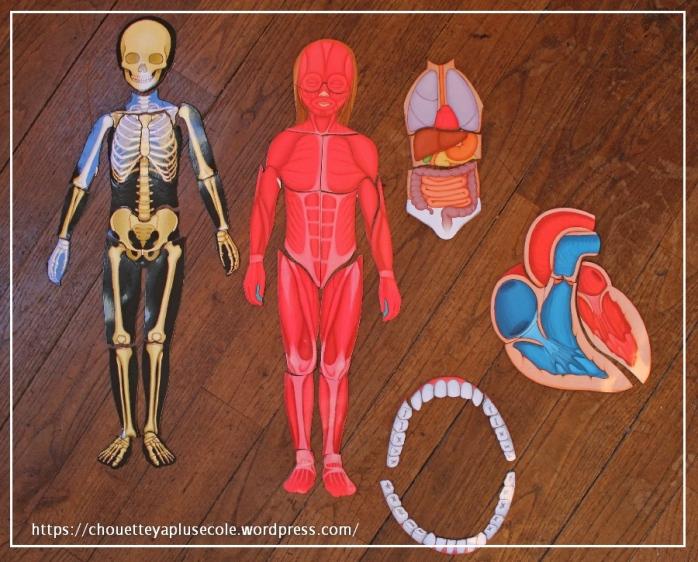 le-corps-humain-a-reconstiturer-auzou-7